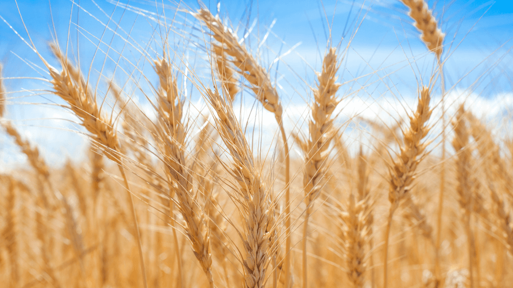 Why is Gluten Intolerance on the Rise?